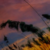 <center>Myrtle Beach Reeds<center>