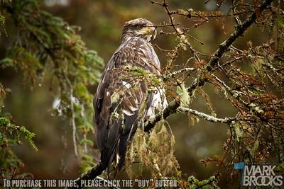 Juvenile Bald Eagle - Alaska