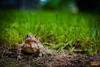 Sentry Toad