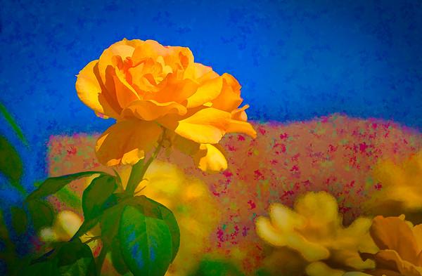 An Orange Rose