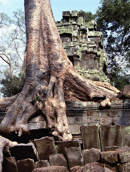 Ta Prohm strangler fig