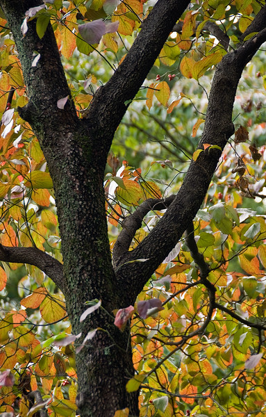 Tokyo, Hibaya Park, Dogwood tree