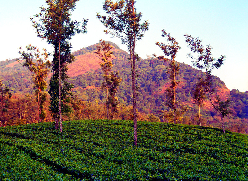 Early evening scene on tea estate near Vythiri, Kerala