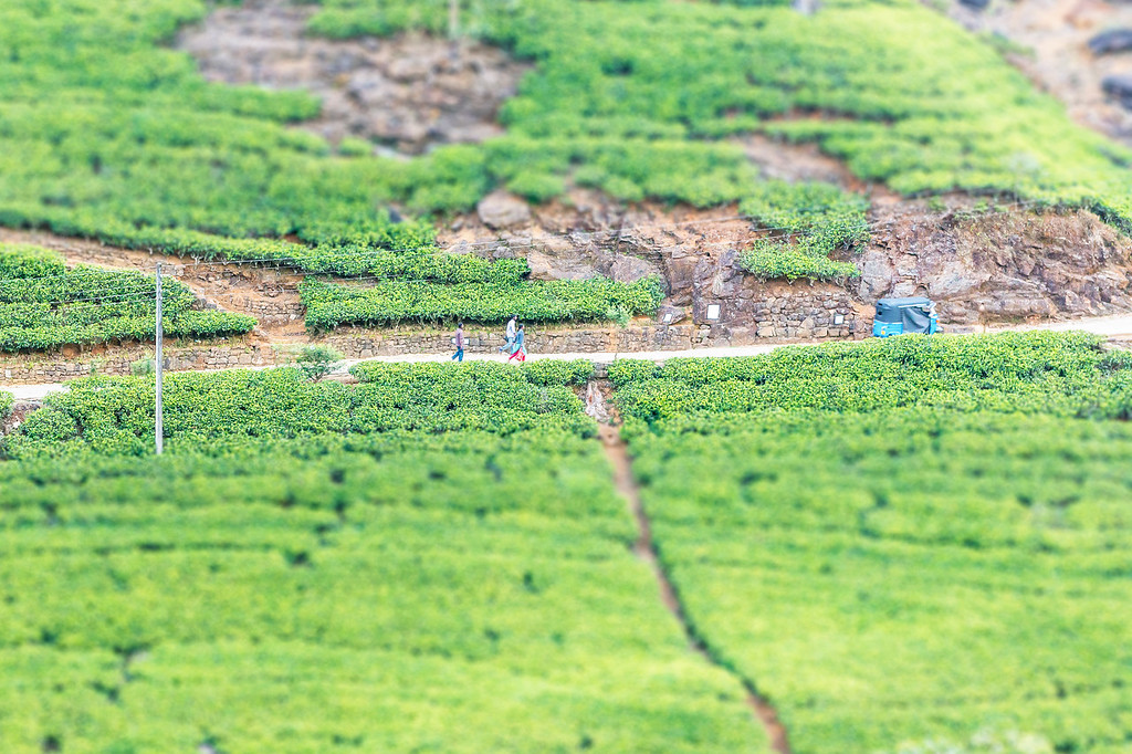 Horton Tea Fields - Sri Lanka