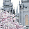 The Salt Lake Temple in Spring with Blossoms