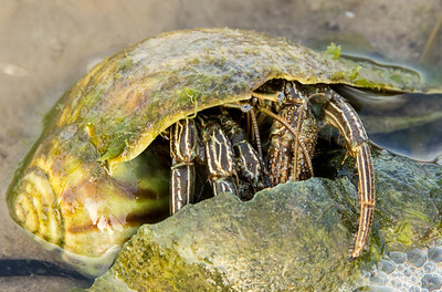 Hermit Crab inspecting another