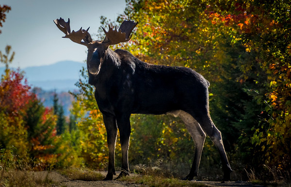 Moose with Mt. Katahdin