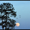 Moon Birds - Ravens over a full moon with Ponderosa Pine.