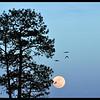 Moon Birds - Ravens over a full moon with Ponderosa Pine.