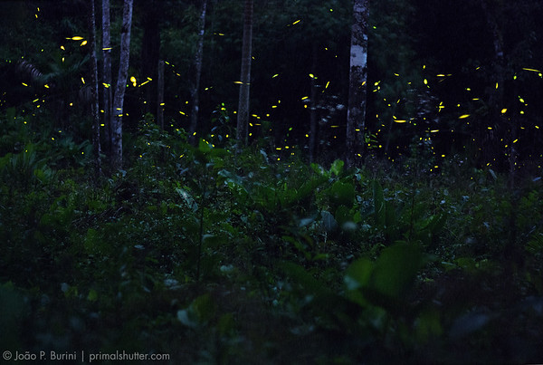 Fireflies at dusk