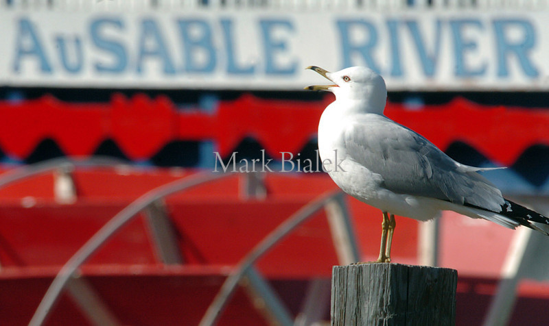 A seagull perches on a post near the AuSable River boat in Oscoda, MI, on a summer day in 2005.  Oscoda, located in Northeast Michigan, is the official home of Paul Bunyan and sits at the mouth of the AuSable River, which is famous worldwide for its trout fishing and wildlife.