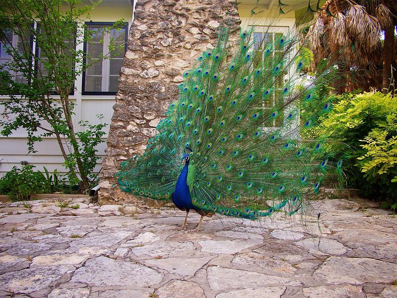 Peacock Strutting - Mayfield Park - Austin, Texas
