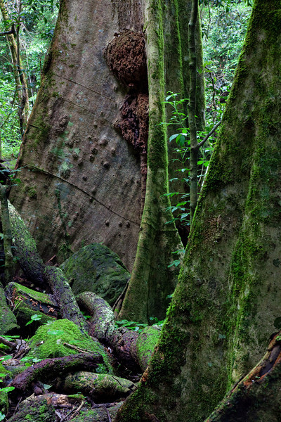Mossy Trees III -  Springbrook National Park, Queensland Australia