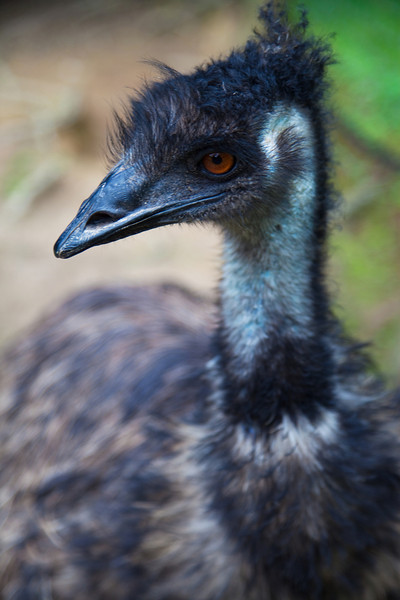 Emu - Currumbin Wildlife Sanctuary, Queensland, Australia.