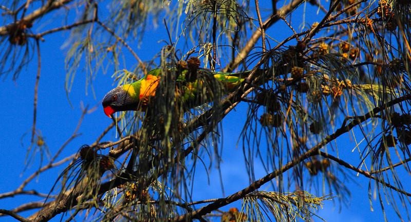 Lori - Rainbow Lorikeet, Byron Bay, Australia