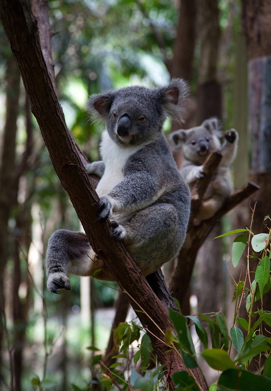 Koala Mom and Baby II - Currumbin Wildlife Sanctuary, Queensland, Australia.