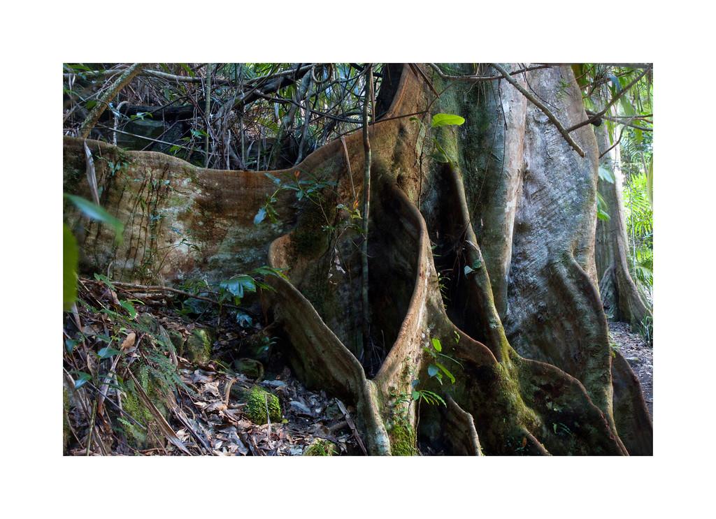 Mangrove Trunk II - Springbrook National Park, Australia.