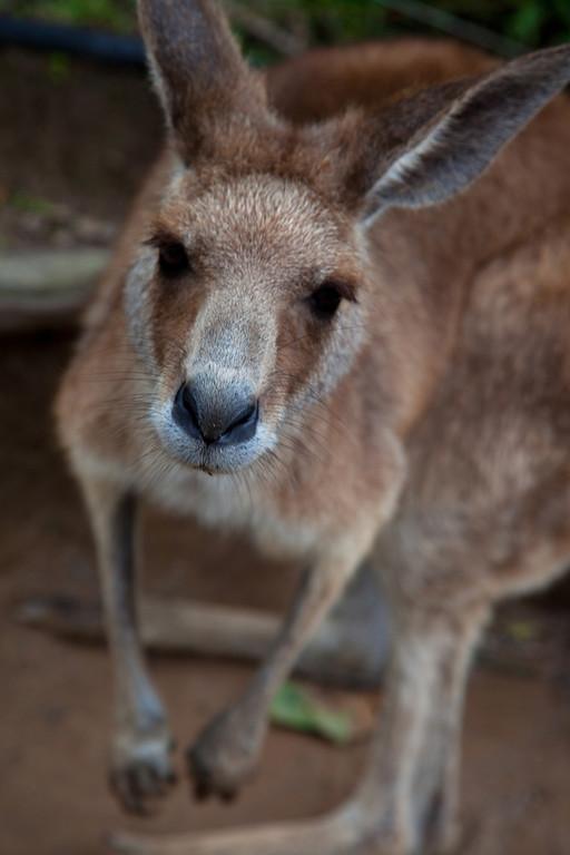 Curious - Kangaroo, Currumbin Wildlife Sanctuary, Queensland, Australia.