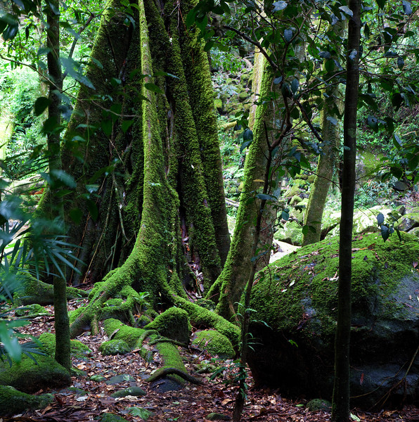 Mossy Trees I -  Springbrook National Park, Queensland Australia