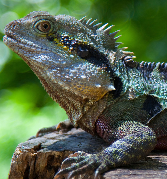 ....there be Dragons -  Blue Eastern Water Dragon. Queensland, Australia.