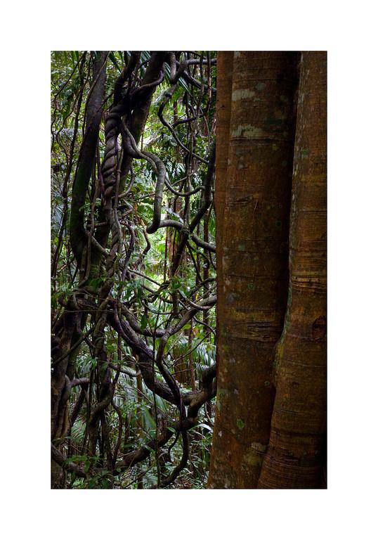 Rainforest II - Tamborine Mountain National Park. Queensland, Australia