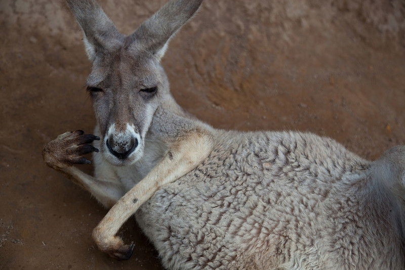Nap Time II - Kangaroo, Currumbin Wildlife Sanctuary, Queensland, Australia.