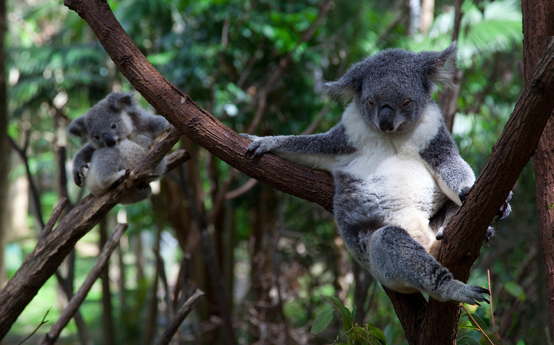 Koala Mom and Baby I - Currumbin Wildlife Sanctuary, Queensland, Australia.