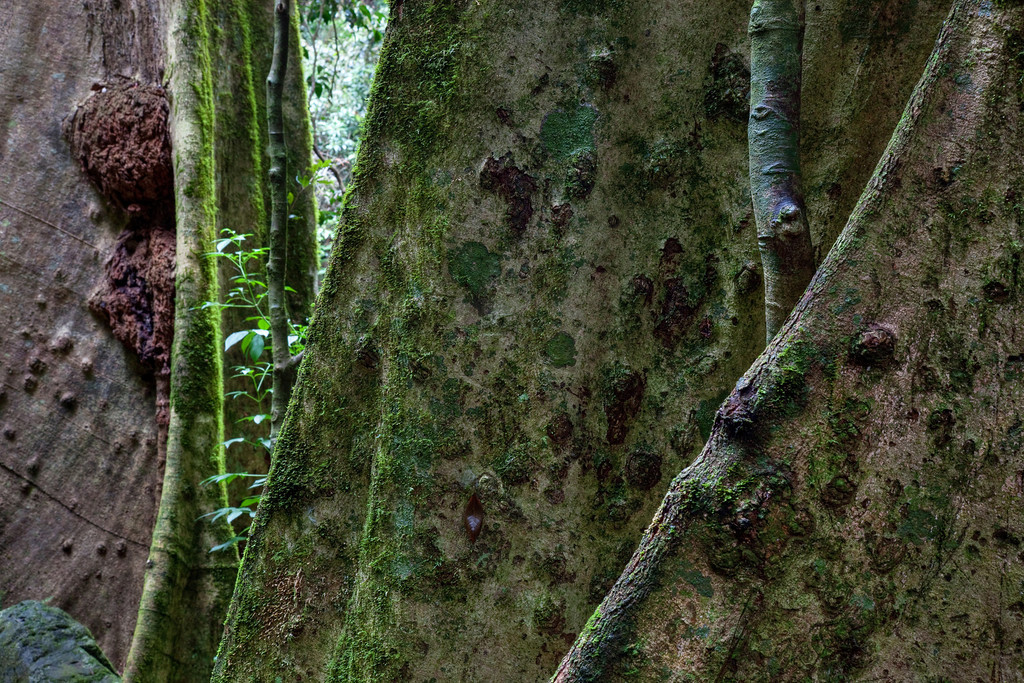 Mossy Trees II -  Springbrook National Park, Queensland Australia