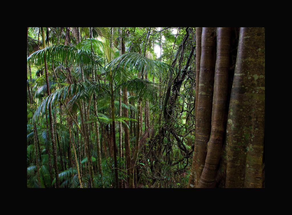 Rainforest I - Tamborine Mountain National Park. Queensland, Australia