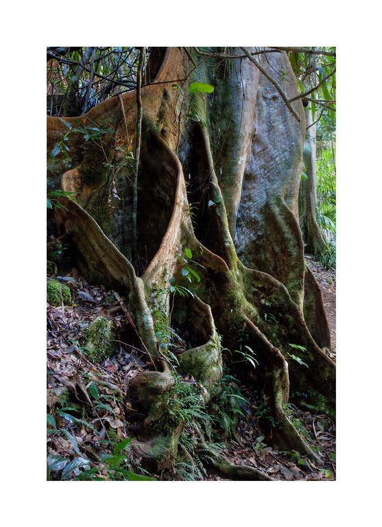 Mangrove Trunk - Springbrook National Park, Australia.