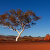Red centre gum