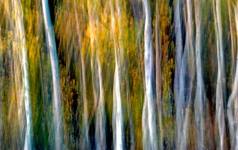 Aspen Forest*