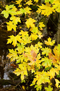 Yellow leaves at rest stop along highway 101 north of Laytonville