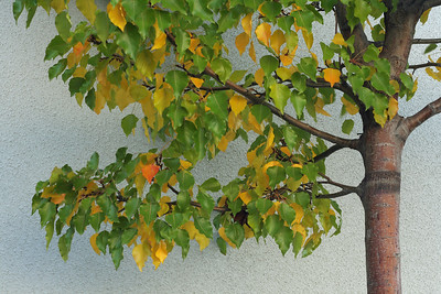 1842 Yellow Green Leaves