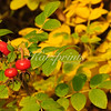 Rose hips set a colorful accent in this green-yellow autumn composition in Germany.