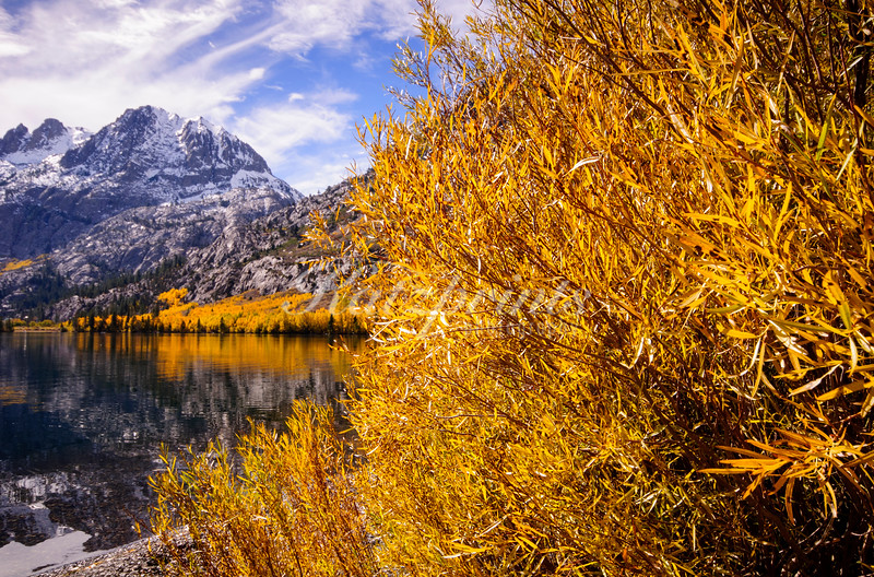 Golden Willows