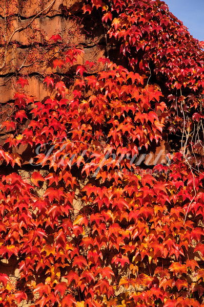The leaves of a vitis plant covering an old building in Germany are turning blazing red in autumn.