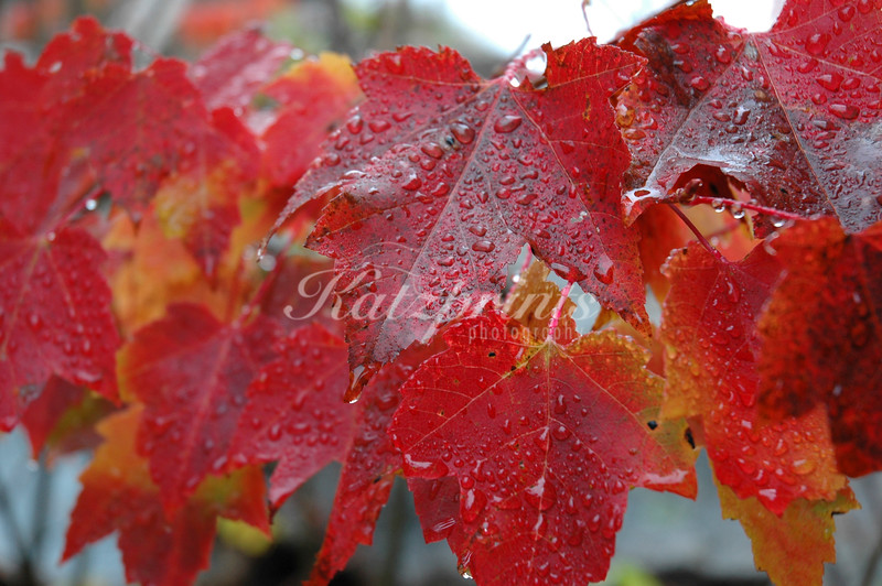 Colored leafs in the rain along the Kancamagus Highway in New Hampshire