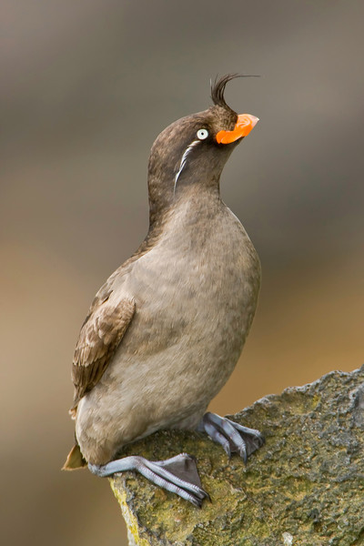 Crested Auklet taken in the Pribilof Islands near Alaska in the Bering Sea.