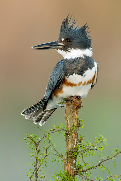 Belted Kingfisher, Roma, Texas