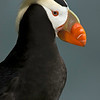 Tufted Puffin, Pribiloff Islands, Alaska