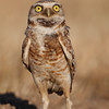 Burrowing owl alert pose