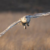 Incoming snowy owl.