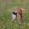 Diving kestrel