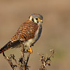 Perched Kestrel<br /> (C) Arash Hazeghi, all rights reserved.
