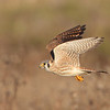 American Kestrel flight.<br /> (C) Arash Hazeghi, all rights reserved.
