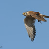 American Kestrel with vole.<br /> (C) Arash Hazeghi, all rights reserved.