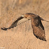 Red-tailed hawk taking off in glory<br /> (C) Arash Hazeghi, all rights reserved.