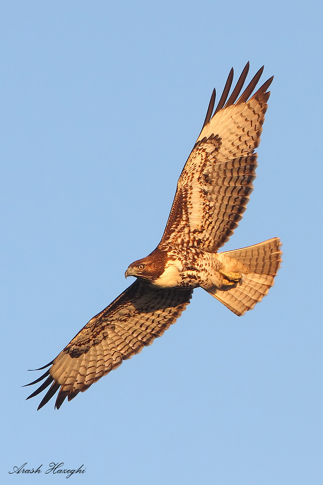 Red-tailed Hawk in last light<br /> (C) Arash Hazeghi, all rights reserved..