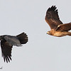 Red-tailed hawk chasing crow, (c) 2009 Arash Hazeghi.